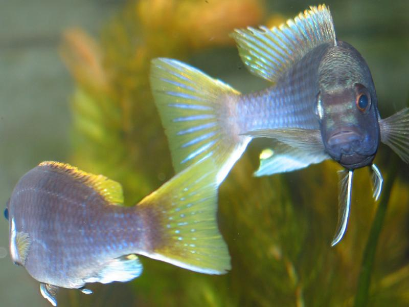 Yellow-tailed Acei Cichlid (Pseudotropheus acei)